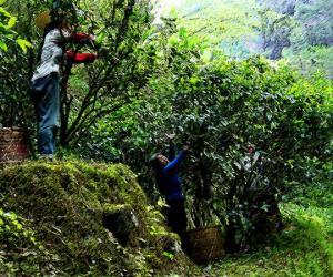 武夷山岩茶制作工艺