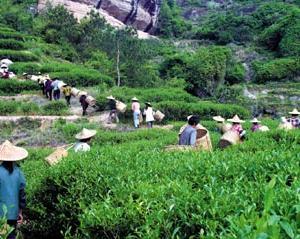 大红袍:助推新农村建设
