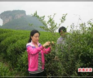 2012年岩茶开始制作了!(武夷岩茶初制工艺技术)